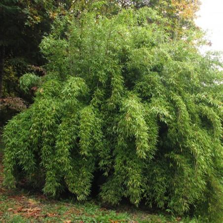 Semi di Bambù Cioccolato (Fargesia fungosa) 2.25 - 1