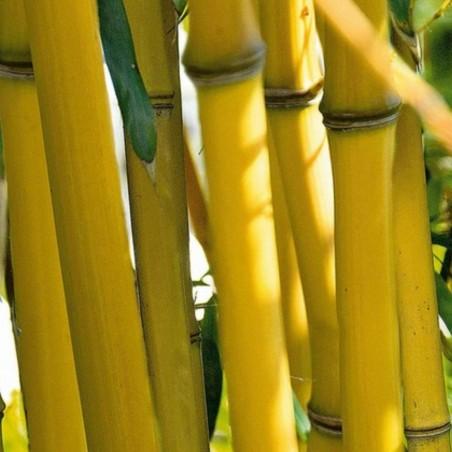 Semi di Bambù Cioccolato (Fargesia fungosa) 2.25 - 2