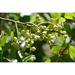 Pistaci Seme (Pistacia atlantica) 2.5 - 1