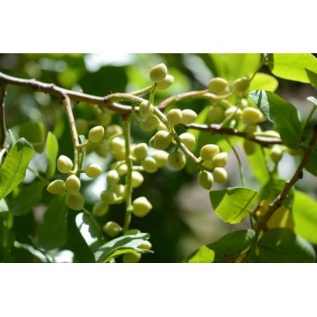 Mt. Atlas mastic tree Seeds (Pistacia atlantica) 2.5 - 1