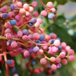 Семена Фиста́шка туполистная, Дикая фисташка (Pistacia atlantica) 2.5 - 2