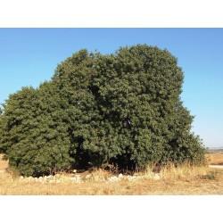 Семена Фиста́шка туполистная, Дикая фисташка (Pistacia atlantica) 2.5 - 3
