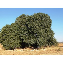 Σπόροι Αγριοφυστικιά του Άτλαντα (Pistacia atlantica) 2.5 - 3