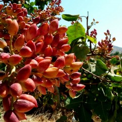 Семена Фиста́шка туполистная, Дикая фисташка (Pistacia atlantica) 2.5 - 4