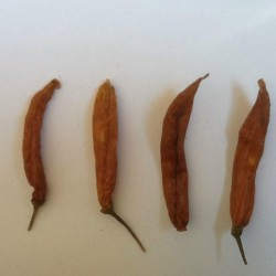 Sementes de pimentão Aji Patillo (Capsicum pendulum) 2.25 - 1