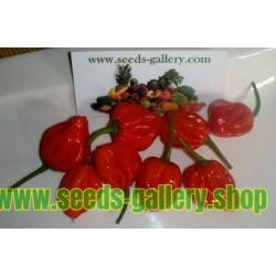 Σπόροι Τσίλι - πιπέρι Scotch Bonnet Trinidad