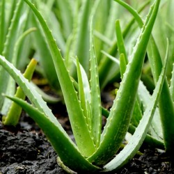 Sementes de Babosa, Aloe vera, 4 - 5