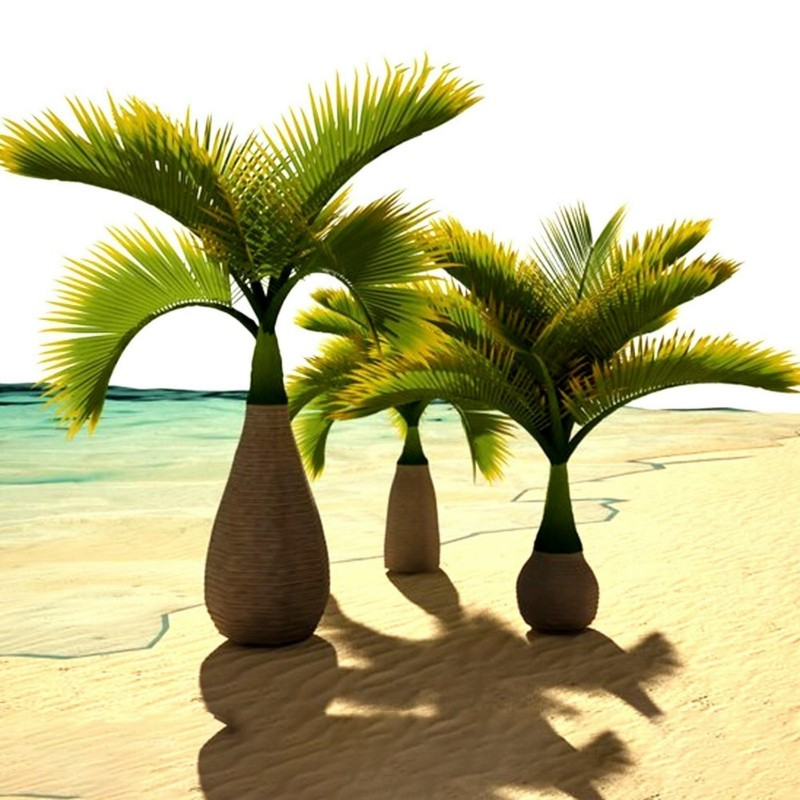 Bottle Palm Seeds (Hyophorbe lagenicaulis) 4.95 - 3