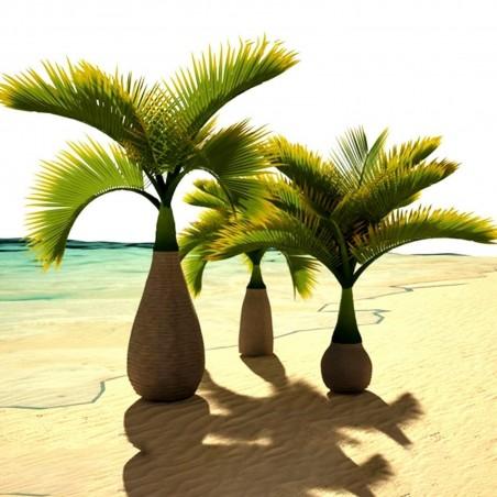 Sementes de Palmeira Garrafa (Hyophorbe lagenicaulis) 4.95 - 3