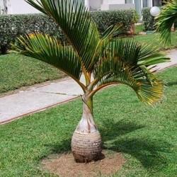 Sementes de Palmeira Garrafa (Hyophorbe lagenicaulis) 4.95 - 2