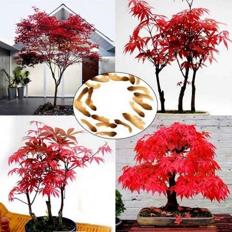 Crveni Japanski Javor Bonsai Seme 1.95 - 1