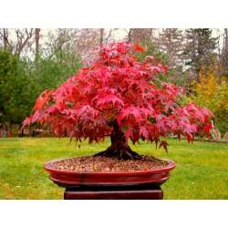 Japanese Red MapleSeeds (Acer palmatum) 1.95 - 3