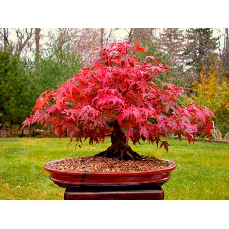Japanese Red Maple Seeds (Acer palmatum) 1.95 - 3