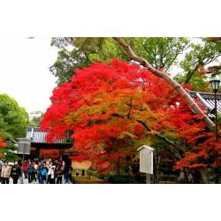 Japanese Red MapleSeeds (Acer palmatum) 1.95 - 4