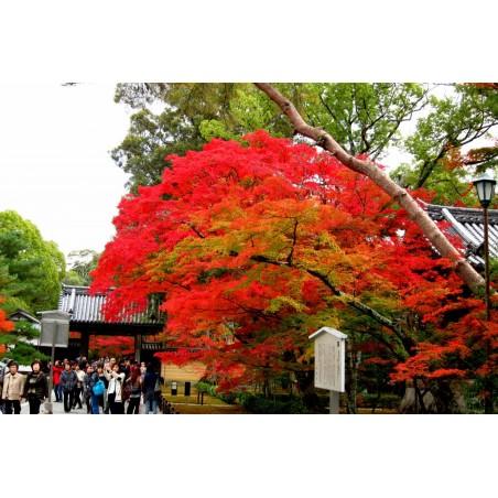 Crveni Japanski Javor Bonsai Seme 1.95 - 4