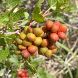 Skunkbush Sumac Seeds (rhus trilobata) 1.9 - 2