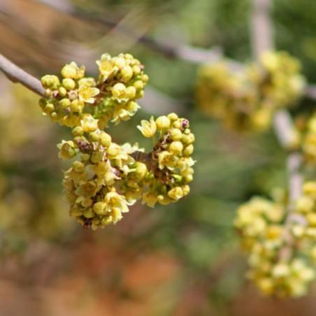 Σπόροι σουμάκι τρίλοβος εξωτικά φρούτα (Rhus trilobata) 1.9 - 5