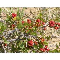 Skunkbush сумах семена экзотических фруктов 1.9 - 6