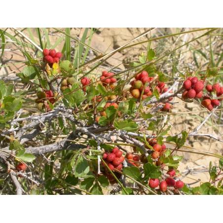 Σπόροι σουμάκι τρίλοβος εξωτικά φρούτα (Rhus trilobata) 1.9 - 6