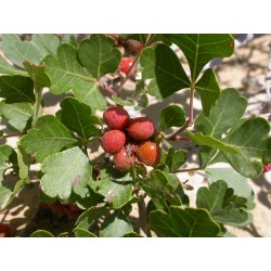 Graines fruit exotique Skunkbush Sumac (rhus trilobata) 1.9 - 7