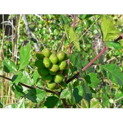 Skunkbush Sumac Seeds (rhus trilobata) 1.9 - 8