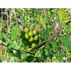 Skunkbush сумах семена экзотических фруктов 1.9 - 8