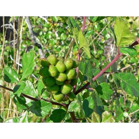 Σπόροι σουμάκι τρίλοβος εξωτικά φρούτα (Rhus trilobata) 1.9 - 8
