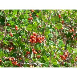 Skunkbush Sumac Seeds (rhus trilobata) 1.9 - 9