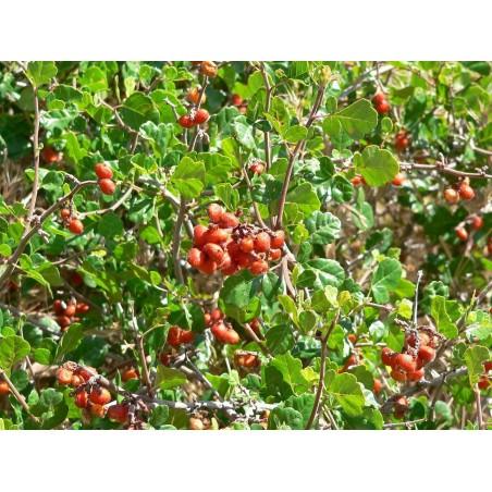 Σπόροι σουμάκι τρίλοβος εξωτικά φρούτα (Rhus trilobata) 1.9 - 9