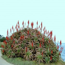 Σπόροι αλόη αρμπορέσενς, Krantz Αλόη (Aloe arborescens) 4 - 4
