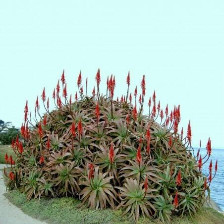 Krantz Aloe Samen (Aloe arborescens) 4 - 4