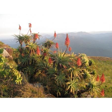 Krantz Aloe Samen (Aloe arborescens) 4 - 2