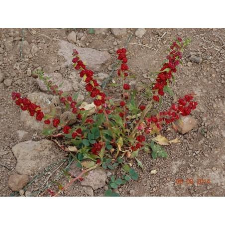 Jagodasti Spanjac Seme (Chenopodium foliosum) 1.55 - 3