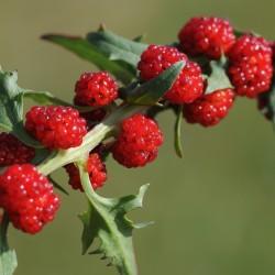 Echter Erdbeerspinat Samen 1.55 - 2