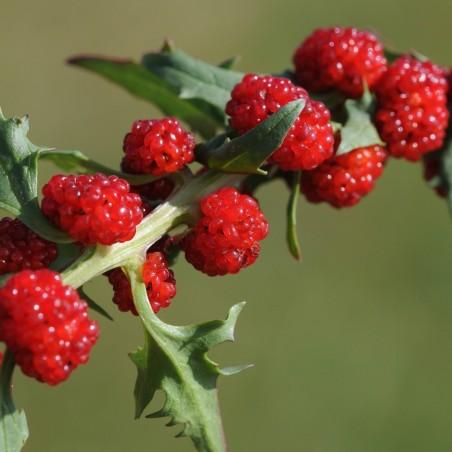 Σπόροι Φράουλα Σπανάκι 1.55 - 2