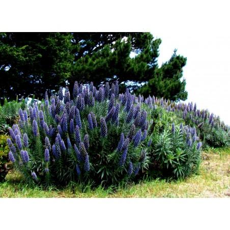 Blauer Natternkopf Samen - Stolz von Madeira 1.5 - 11