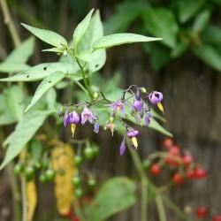 Razvodnik Seme, Paskvica (Solanum dulcamara L.) 1.75 - 1