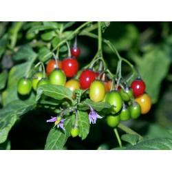 Bittersweet Seeds (Solanum dulcamara) 1.75 - 2
