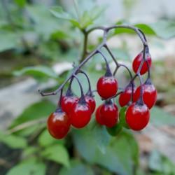 Bittersweet Seeds (Solanum dulcamara) 1.75 - 3