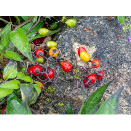 Bittersüsser Nachtschatten Samen 1.75 - 4