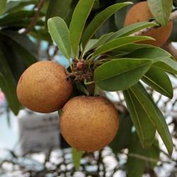 Sapote - Kaugummibaum Samen 2.85 - 3