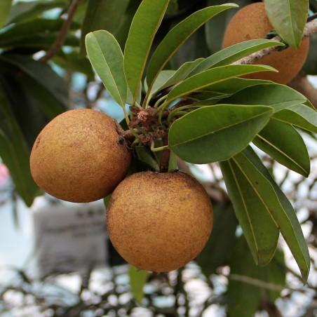 Sapotillträd, Sapotillplommon, Tuggummiträd Frön 2.85 - 3
