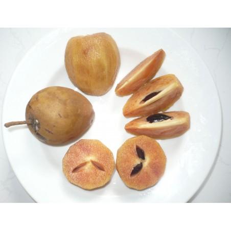 Sapotillträd, Sapotillplommon, Tuggummiträd Frön 2.85 - 2