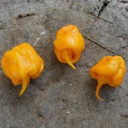 Semillas de Pimiento Carolina Reaper rojo y amarillo 2.45 - 9