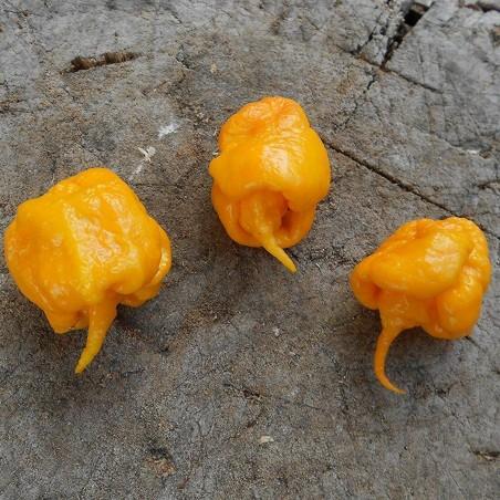 Graines de Piment Carolina Reaper rouge et jaune 2.45 - 9
