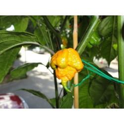 Sementes da Pimenta Carolina Reaper vermelho e amarelo 2.45 - 13