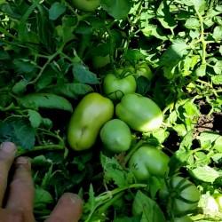 Semillas de tomate Alparac - Variedad de Serbia 1.95 - 2