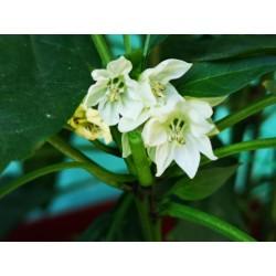 West Virginia Pea Hot Pepper Seeds 1.55 - 4