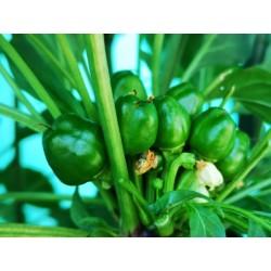 West Virginia Pea Hot Pepper Seeds 1.55 - 5