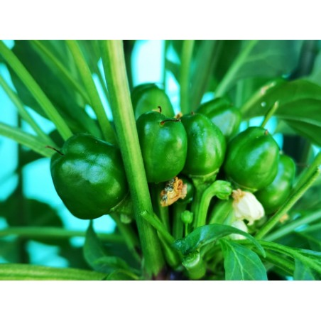 Graines de piment West Virginia Pea 1.55 - 5